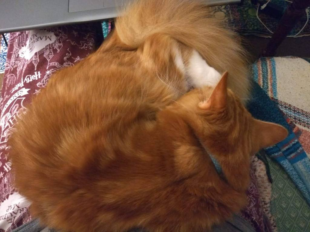 From above: a fluffy ginger cat is curled up on a lap, with a laptop close by. The cat is sleeping.