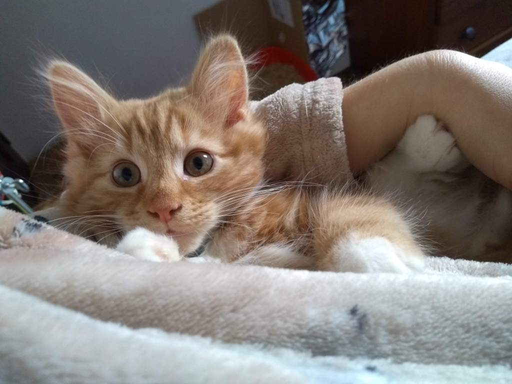A ginger kitten looking alarmed, with big ears and perky ears.